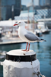 A Seagull in Darling Harbour, Sydney, Australia.