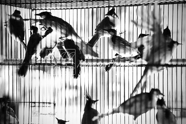 Black and white photograph of birds in a cage, bird market, Singapore