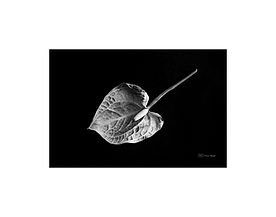 Black and white photography of nature: anthurium flower