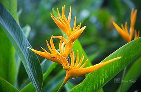 Bird of Paradise Flower at the Botanic Gardens of Singapore.