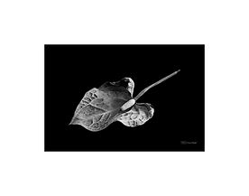 Black and white picture of nature: anthurium flower.