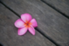 A pink frangipani flower on a wooden floorm in Singapore.