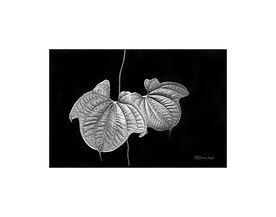 Black and white photography of nature: vine leaves