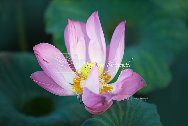 An aging lotus flower in the middle of a watelly pond, in Singapore.