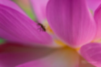 Macrophotography of a little coleoptere walking on th edge of a lotus flower.