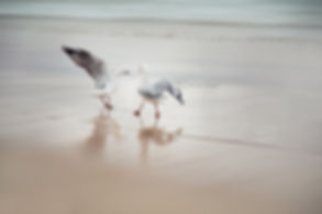 Two seagulls fighting on Manly Beach, Sydney, Australia.
