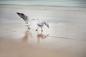 Two seagulls fighting on Manly Beach, Sydney, Australia.