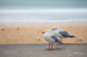 A couple of seagulls in Manly Beach, Sydney, Australia.