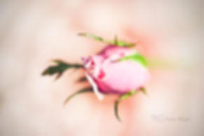 Macrophotograph of a pink rose, in Gardens by th Bay, Singapore.