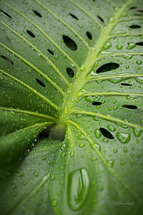 Monstera leaf after the rain, Singapore