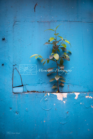 Resilience of a plant growing on a blue wall, Singapore.