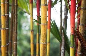 Photograph of bamboo in the botanic gardens, Singapore.