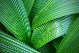 Photograph of leaves in the Botanic Gardens, Singapore.