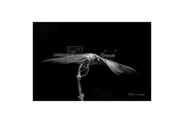 Black and white photography of nature: dragonfly.