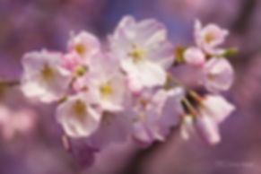 Cherry tree in blossom.