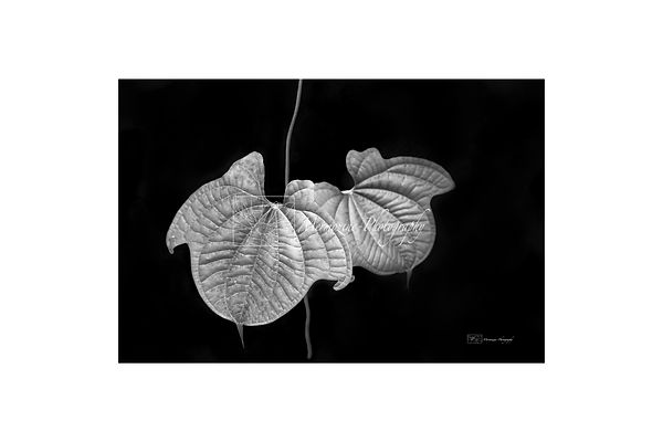 Black and white photography of nature: vine leaves.