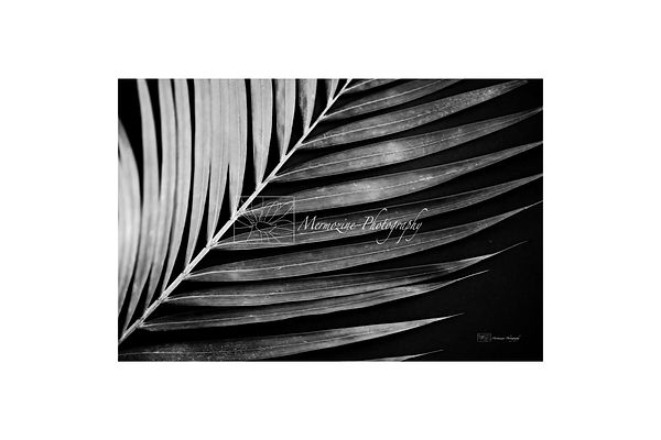 Black and white photography of nature: palm tree.