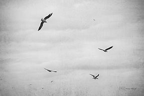 Seagulls flying over Manly beach, Sydney, Australia.