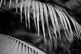 Black and white palm tree leaf.