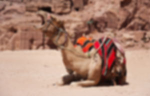 Photograph of a yawning camel, in the ancient city of Petra, in Jordan.