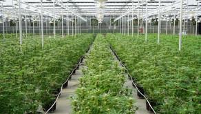 Historic UN Cannabis Decision Day
