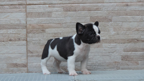 Macho de Bulldog Francês disponível