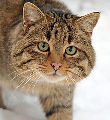 Veranstaltungstipp:  Wildkatzen - auf Samtpfoten durch den Urwald