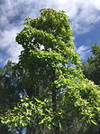 Catalpa-southhill.jpeg