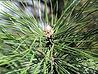 pine_austrian_leaves.jpg