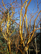 Salix_Golden_Curls.jpg