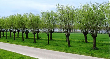 pollarded-trees-near-sluis-two-years-lat