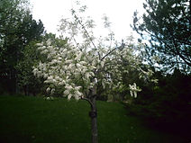 01EuroBirdCherry05_2018.JPG