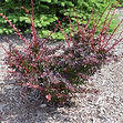 rosy-glow-barberry-landscape-600x600.jpg