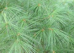Pinus-strobus-leaf-sm-JH.jpg
