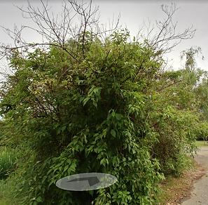 KoiPond dogwoods.png