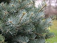 Abies-concolor-leaf-sm-JH.jpg
