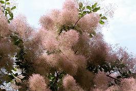 1200-147653988-smoke-bush-blooming.jpg