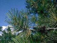 ponderosa_pine_needles.jpg