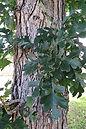 bur-oak-trunk.jpg