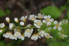 Prunus-virginiana_EHedborn.JPG