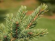 Picea-glauca-leaf-sm-JH.jpg