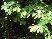 220px-Quercus_mongolica_var_gosseserrata