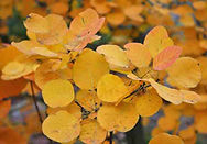Cotinus-coggygria-fall-lvs-.jpg