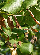 Tilia-platyphyllos-fruit-sm.jpg