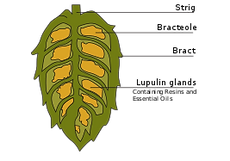 267px-Cross-section_of_hop_cone.svg.png