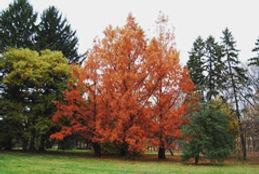 Metasequoia-fall_KK.JPG