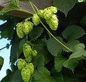 Centennial-Hops-Plant-3-450w.jpg