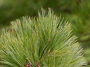 Pinus-peuce-needles--JH.jpg