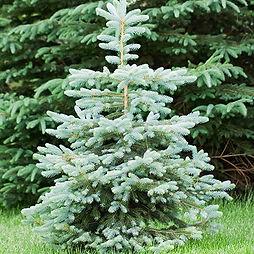 Blue-Wonder-Spruce-450.jpg