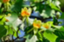 tulip-tree.jpg